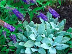 Lamb's Ear   Stachys byzantina. This stuff is so easy and it grows back every year. Transplanting is a cinch! LOVE IT! The kids love it too! Sooooo soft!