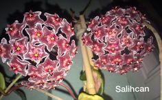 Hoya pubicalyx ''Silver Pink''