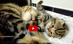 Cat Mama Talking to Her Babies! Sweetest Moments! - Love Meow