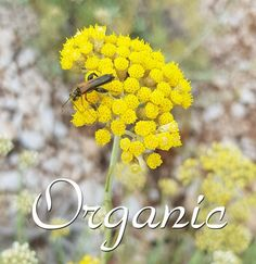 Helichrysum oil direct from our Farm and Distillery - Organic Certified Pure Plexus Products, Pure Products, Helichrysum Italicum, Healthy Liver, Greek Words, Organic Farming, Distillery, Planting Flowers, Essential Oils