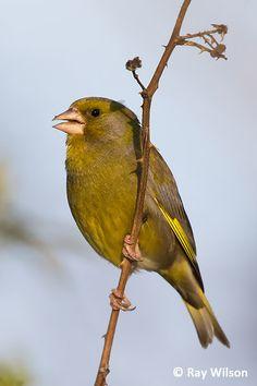 Song Thrush, Greenfinch, Garden Birds, British Wildlife, Finches, Cardinal Birds, Linnet, Bird Drawings, Wildlife Photography