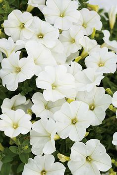 Supertunia Mini White is a beautiful trailing Petunia, wonderful in hanging baskets or window boxes. This crisp, clean color will refresh all summer long. Container Plants, Container Gardening, White Roses, White Flowers, Trailing Petunias, Ornamental Cabbage, Hanging Flower Baskets, Petunia Pickle Bottom, Flower Names