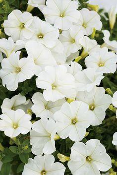 31 Best Supertunia Petunias Images In 2019 Flowers Planting
