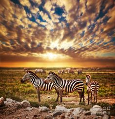 "deepsoulfury: ""Zebra African Savana at sunset by Michal Bednarek Fine Art America """