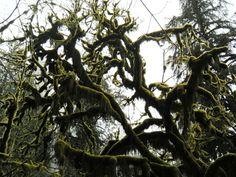 Moss tree: Munson Falls, OR