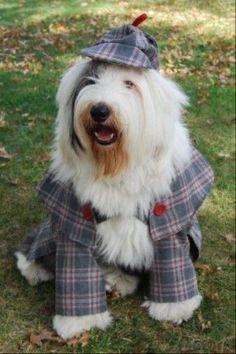 Sherlock Holmes, my dear Watson! Old English Sheepdog