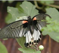 The Great Mormon.... south-Asian butterfly.