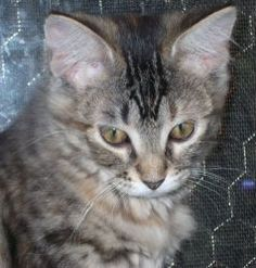 This is Maggie's sister - SNUGGLES is an adoptable Domestic Medium Hair Cat in Makinen, MN. SNUGGLES F 6w DMH 7-3-11 Tabby w/ orange Sweet Kitten Needs: Things to climb and places to poke her nose into...If I win the lottery I will be heading to the shelter to get her.
