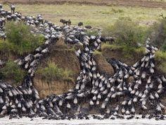 Widescreen african buffalo pic by Heard Ross (2017-03-27)