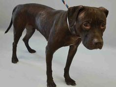 zaire_a1090945FEMALE, BLACK / WHITE, AM PIT BULL TER MIX, 3 yrs SEIZED – ONHOLDHERE, HOLD FOR LEGAL Reason CRUELTY Intake condition UNSPECIFIE Intake Date 09/23/2016, From NY 10456, DueOut Date09/26/2016, I came in with Group/Litter #K16-075257  Medical Behavior Evaluation BLUE Medical Summary Scanned negative QARH Mild dental tartar Tense and nervous Hair loss vs dermatitis at the dorsum Female Activyl applied for fleas prevention Nosf Weight 43.6