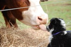 Pepper and the cow - kissing cousings? Lancaster Farming: Photo Gallery