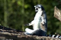 Ommmmmm!   The little crossed leg lemur seemed lost in its own thoughts while life carried on around it