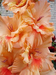 Gladiolus 'Sunny Frizzles'