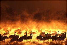 Sandhill Cranes, caught in pre-dawn light and mist