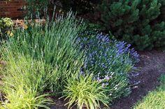 Munstead lavender in bloom Essential Oils, Bloom, Herbs, Garden, Gift, Plants, Garten, Lawn And Garden, Tuin