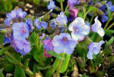 A blue bun of cuteness! Pulmonaria 'Blue Bun' pushes up in early March and the vibrant flowers are a welcome sight in late winter.
