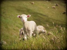 The Little Lamb by Brandy