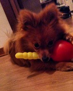 SUSHI  Day 6  #volpino #cucciolo #fox #cani  #castagna#volpinopomerania #fratellino #passeggiatamattutina #osso #rosso #birbantello#foglie#bellagiornata#SUSHI #volpino #cucciolo #fox #cani #giardino #castagna#volpinopomerania #fratellino #passeggiatamattutina #osso #dormire #birbantello#foglie#bellagiornata#instadog #dogsofinstagram #puppy #puppylove #dog#lingua #shopping #lacyandpaws #inverno#capottino #dream #riposare #dog #dormire #montagna by sushingram