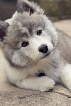 Pomsky Turn your screen slightly to the left. How beautiful is he! Pomsky Turn your screen slightly to the left. How beautiful is he! Cute Baby Animals, Animals And Pets, Funny Animals, Funny Dogs, Animals Images, Beautiful Dogs, Animals Beautiful, Cute Puppies, Dogs And Puppies