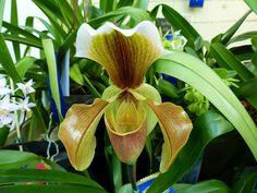 http://faaxaal.forumactif.com/t4720-photos-d-orchidees-hybrides-paphiopedilum-hellas-x-paphiopedilum-villosum