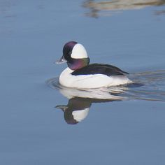 Bufflehead Duck - Calm water and good light provides an opportunity for great reflections.