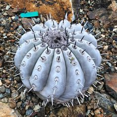Copiapoa cinerea at RBG : cactus Cacti And Succulents, Succulents Garden, Cactus Plants, Garden Plants, Cactus Pictures, Surat Thani, Catus, Desert Plants, Bonsai