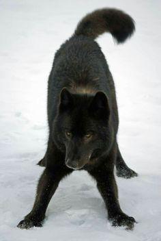 Romeo the wolf, beautiful & playful.