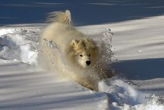 Snowplow samoyed