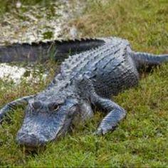 Florida wild gator