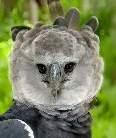 The Harpy Eagle (Harpia harpyja) is a falconiform bird specie in the Accipitridae family living in the Neotropics and it's the second l. Harpy Eagle, Animal Rescue Site, Big Bird, Exotic Birds, Birds Of Prey, Bird Feathers, Beautiful Birds, Pet Birds, Eagles