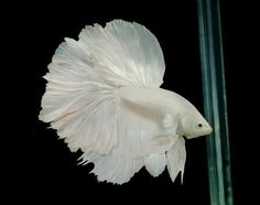 Halfmoon Betta Fish. Never seen a pure white one!