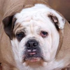 Princess Fiona is an adoptable English Bulldog Dog in Chester Springs, PA. To adopt any of our animals, please fill out an adoption application. Click here to apply. No out-of-state applicants will be...