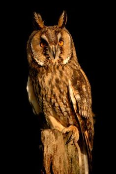 "Long Eared owl  13"" long and 39"" wide"