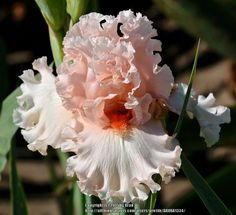 Photo of the bloom of Tall Bearded Iris (Iris 'Birthday Bash') List Of Flowers, Iris Flowers, Types Of Flowers, Flowers Nature, My Flower, Planting Flowers, Exotic Plants, Exotic Flowers, Beautiful Flowers