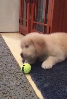 And this one who doesn't quite know what ball is. | 23 Dogs Who Have Reached Peak Dog