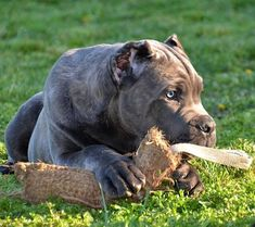 Charming Cane Corso Check out a some of our amazing Featured Cane Corso Breeds we Love! Cane Corso Italian Mastiff, Cane Corso Mastiff, Cane Corso Dog, Best Dog Breeds, Best Dogs, Cane Corso Breeders, Baby Animals, Cute Animals, Bully Dog