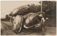 African American man standing behind horse-drawn cart of large watermelons, one falling off the side (early 20th century). Uncommon Photographs from 100 Years of Daily African American Life