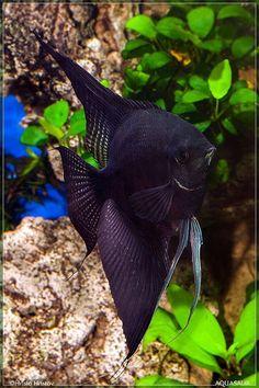 Types of angelfish color variations 00097 - pokmnwasx Tropical Freshwater Fish, Tropical Fish Aquarium, Freshwater Aquarium Fish, Oscar Fish, Cool Fish, Fish Wallpaper, Angel Fish, Beautiful Fish, Ocean Creatures