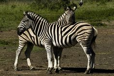 Hluhluwe-Imfolozi Park White Horses, Zebras, Claws, South Africa, Feathers, Safari, Stripes, Spaces, Park