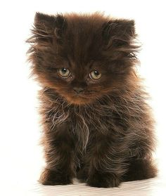 pov tit chat.  I know Tara would want this kitty.  A little piece of chocolate love.