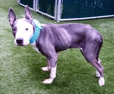 2/23/17 THIS WONDERFUL SENIOR GIRL IS LISTED TO BE MURDERED TODAY!! RESCUE ONLY!! PLEASE SAVE HER! /ij🐾🐾NEEDS FOLLOW UP VET CARE!! SUPER URGENT Manhattan Center KIA – A1104150 *** NEEDS FOLLOW UP VET CARE ***SAFER : NEW HOPE RESCUE ONLY** FEMALE, GRAY / WHITE, AM PIT BULL TER MIX, 10 yrs STRAY – STRAY WAIT, NO HOLD Reason STRAY Intake condition INJ MINOR Intake Date 02/19/2017, From NY 10456, DueOut Date 02/22/2017,