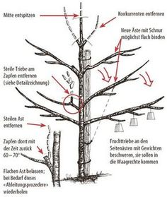 Fruit tree pruning - the 10 most important tips and rules- Obstbaumschnitt – die 10 wichtigsten Tipps und Regeln Fruit tree pruning culture guide cherry - Pruning Fruit Trees, Tree Pruning, Gardening Supplies, Gardening Tips, Cherry Fruit Tree, Cherry Cherry, Bonsai, Fruit Painting, Garden Types