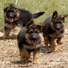 Long haired German shepard puppies! I can not wait to start breeding these dogs!!