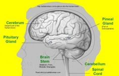A Glance into the Human Brain - adidarwinian