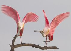 """In the United States a popular and easy place to observe Roseate Spoonbills is """"Ding"""" Darling National Wildlife Refuge in Florida. Roseate Spoonbills sometimes feed near Snowy Egrets, Great Egrets, Tricolored Herons, and American White Pelicans."""