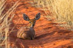 Steenbok Female in Kalahari Cute Baby Animals, South Africa, Cute Babies, Wildlife, Female, Big, Nature, Wilderness, Naturaleza