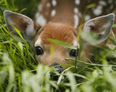 Adorable animals - Baby Fawn Deer Peek A Boo im Gras Bild 1 Mauspad 7 x 9 Stoff oben Gummibeutel Cute Baby Animals, Animals And Pets, Baby Wild Animals, Animals In Clothes, Baby Giraffes, Beautiful Creatures, Animals Beautiful, Deer Repellant, Spring Animals