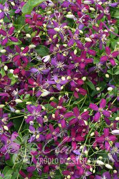 клематис 'Sweet Summer Love' PBR (Слит Самэр Лов) Clematis, Plants, Plant, Planets