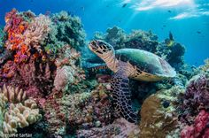 Indonesia's coral reefs