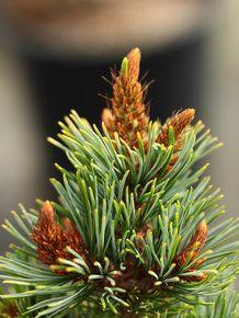 Pinus parviflora 'Kinpo'